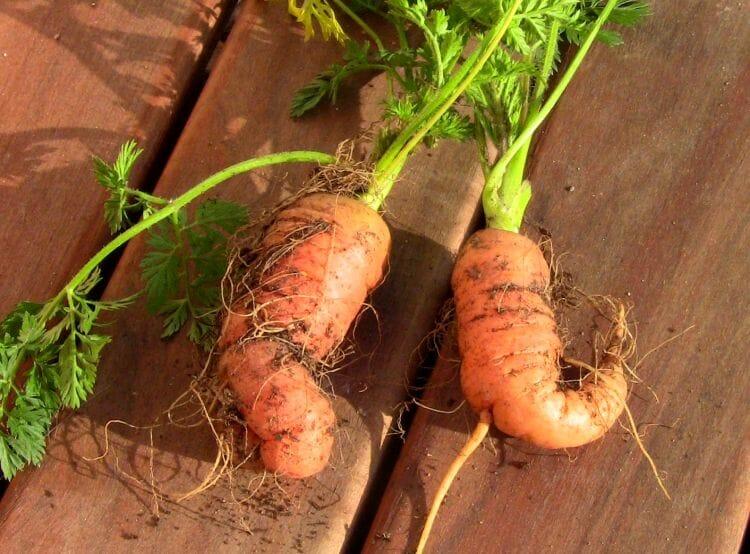 zanahorias torcidas